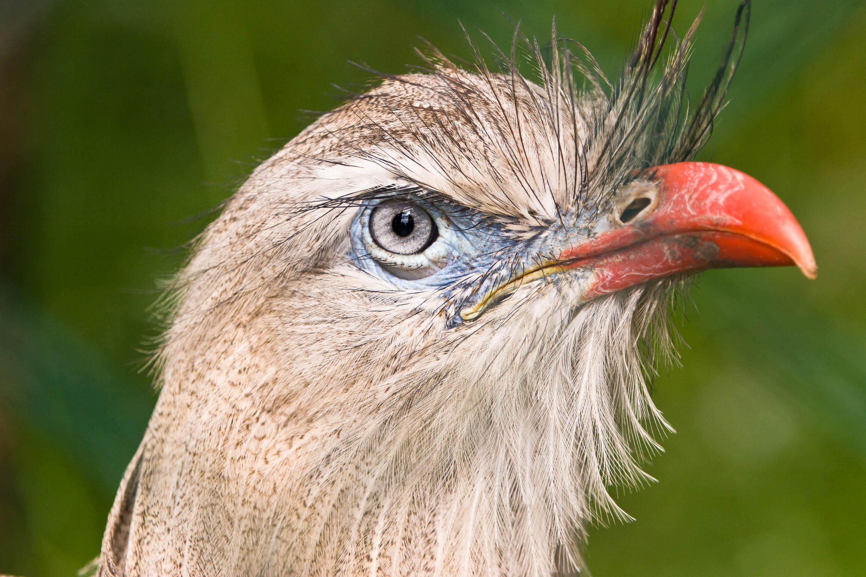 Red-legged Seriema bird