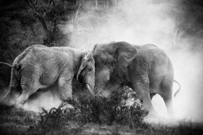 Kämpfende Elefanten, Tansania