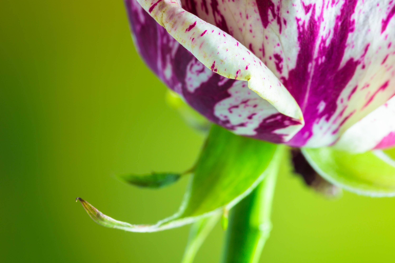 Nahaufnahme einer Rose
